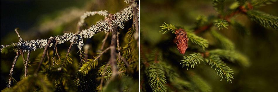 zdjecia plenerowe w Bieszczadach drzewa szyszka
